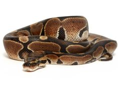 Ball Python (normal color)Baby girl