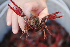 We are smack dab in the middle of crawfish season, so if you haven& had a boil at least once this year it& time to read this guide and catch up. How To Cook Crawfish, Crawfish Recipes, Cajun Recipes, Boiling Crawfish, Cajun Food, Seafood Recipes, Louisiana Recipes, Southern Recipes, Southern Food