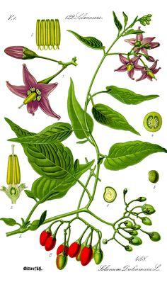 Solanum dulcamara (Dulcamara, dulceamarga)