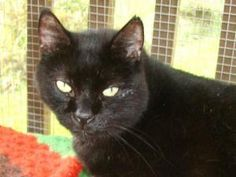 DAVEY JONES is an adoptable Domestic Short Hair-Black Cat in Delhi, NY. DAVEY recently entered the shelter as a stray at the age of about 8-10 years old. He's a staid, calm, sturdy gentleman who would...