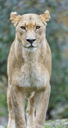 Beautiful Lioness has hints of grey fur along with the light brown fur.