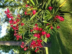 Oleander. Hope ours comes up this pretty