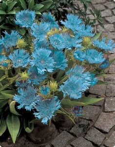 Image of Blue Danube Stokesia