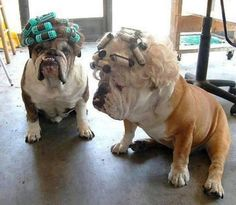 ❤ Getting GLAM for Girls Night Out (How late do you think they can stay awake?) ❤ Posted on Tank R Tots Purebred English Bulldogs