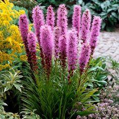 """liatris spicata    height 36-48""""   12-18"""" spread     Deer Resistant, Hummingbirds & Butterflies, Cut Flowers, Dried Flowers, Borders"""