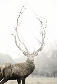Elk / raindeer with giant horns greeting card.