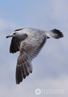Gull in flight by DavidDodge