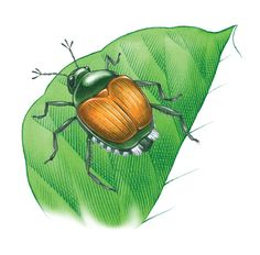 Prevent Japanese Beetle Damage With These Organic Pest Control Tips Organic Weed Control, Japanese Beetles, Mother Earth News, Pest Control Services, Bug Control, Beneficial Insects, Garden Guide, Natural Garden, Garden Pests