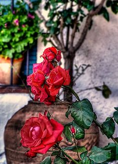 Roses for you, my love... - Sant Jordi's Day in Catalonia (Festival of St. George)