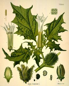 moonflower: induces hallucinations and delirium. important in native american and hindu ceremonies.