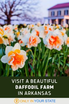 Visit this beautiful flower farm in Arkansas and get lost in thousands of daffodils each spring. The season runs from March to mid-June and the property is open for garden tours, special lunch tours, and even as a wedding venue. Travel Usa, Travel Tips, Daffodils Planting, Spring Break Vacations, Flower Farm, Farm Gardens, Garden Styles, Vacation Destinations, Arkansas