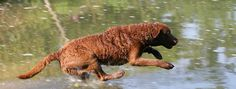 What makes the Chesapeake Bay Retriever  Unique? Description from petpaw.com.au. I searched for this on bing.com/images