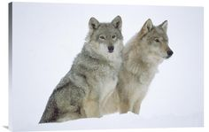 Buy positive energy horizontal fine art photo Timber Wolf Portrait of Pair Sitting in Snow, North America by Tim Fitzharris, which is available for sale in our fine art animal photos collection. This