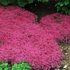 Creeping Thyme is drought proof and deer proof groundcover