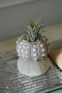 Double Sea Urchins and Air Plant - http://www.etsy.com/listing/77158197/double-sea-urchins-and-air-plant