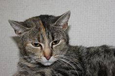 Petango.com – Meet Sydney, a 2 years Domestic Shorthair / Mix available for adoption in Hagerstown, MD