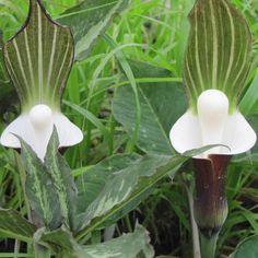 Arisaema sikoianum   Arisaema sikokianum