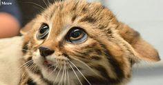 Very Cute Cat 😻😻😻 www.youtube.com/c/WeMeow #cat #cats #wemeow #meow #catlife #cutecat #catlove #lovecats #gatos #gatti #koty #katze #chats #kitty #kitten #kittens #lovecat #funnycat #cateye #beautifulcat #nicecat #amazingcat #catlooking #catofinstagram #catsoftumblr #catstagram #instapets #instacat #pet #pets