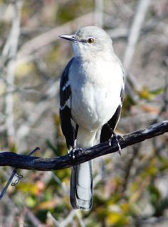 """Mocking Bird - Texas state bird: Ask any Texan, and you will no doubt learn that the mockingbird has the prettiest song of any bird native to North America. That's perhaps the chief reason the """"mocker"""" was adopted as the state bird of Texas in 1927. The song of the mockingbird is, in fact, a medley of the calls of many other birds. Each imitation is repeated two or three times, then another song is started, all in rapid succession."""