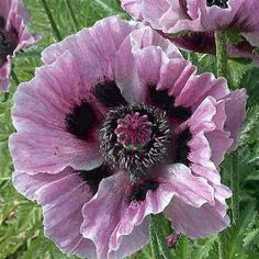 Papaver Manhattan | Oriental Poppy