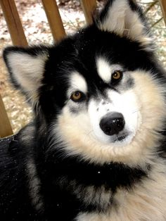 Wonderful All About The Siberian Husky Ideas. Prodigious All About The Siberian Husky Ideas. Alaskan Husky, Siberian Husky Dog, Alaskan Malamute, Malamute Husky, Husky Puppy, Husky Breeds, Dog Breeds, Alaska Dog, Snow Dogs