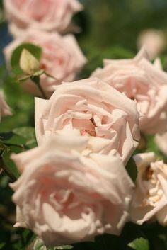 Captivating Why Rose Gardening Is So Addictive Ideas. Stupefying Why Rose Gardening Is So Addictive Ideas. New Dawn Climbing Rose, White Climbing Roses, Rose Garden Design, Rose Trellis, Rose Care, Rose Vines, Growing Roses, Planting Roses, Rare Flowers