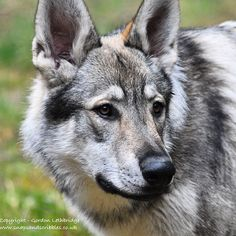 Walking with Wolves on the Cumbrian Fells. Learn about lupine behaviour as you hike with wolves @predator_experience.