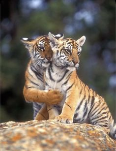 All big cats and small wild cats, all over the world; species protection and preservation; Big Cats, Cats And Kittens, Cute Cats, Beautiful Cats, Animals Beautiful, Cute Baby Animals, Animals And Pets, Wild Animals, Large Animals
