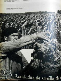 28 toneladas de semilla de cebolla para EE.UU de América. Fuente: Revista M.A.N. Junio de 1943.