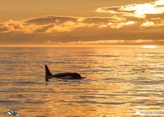 Our 3 Hour Whale Watching Sunset Tour in Victoria, avoids the crowds and travel straight to the Whales! Save time and money by going at the end of the day!
