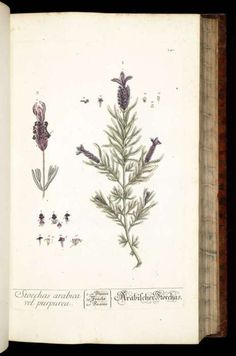 Stoechas arabica now called Lavandula dentata - French lavender Blackwell, E., Herbarium Blackwellianum, vol. Vintage Pictures, Old Pictures, Nature Pictures, Éphémères Vintage, Elizabeth Blackwell, Old Book Pages, Botanical Illustration, Botanical Drawings, Art Clipart