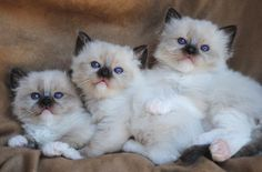 Ragdoll Kittens for sale in Ohio -  Ragdoll Kittens Cincinnati.