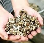 Moringa Oleifera seeds are used for their antibiotic and anti-inflammatory properties to treat arthritis, rheumatism, gout, cramp, sexually transmitted diseases and boils. The seeds are roasted, pounded, mixed with coconut oil and applied to the problem area. Seed oil can be used for the same ailments