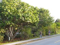 Biking on Sanibel. A great way to really see the Island. Be sure to stop for Ice cream. And go into the campground to see the zoo.