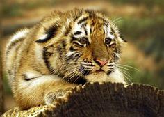 crouching cub by *ariseandrejoice.