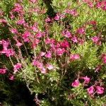 PINK AUTUMN SAGE (Salvia greggii): pink flowers; aromatic; shrubby; everblooming; shear occasionally; drought tolerant; sun; 3 feet.