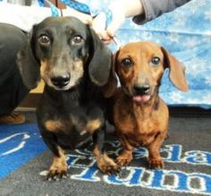Echo & Eden is an adoptable Dachshund Dog in Waterloo, IA. These happy pups are Echo (black neutered male) and Eden (brown female). They were surrendered to the shelter because their owners could no l...