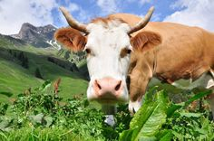 Swiss Moo on the Eiger