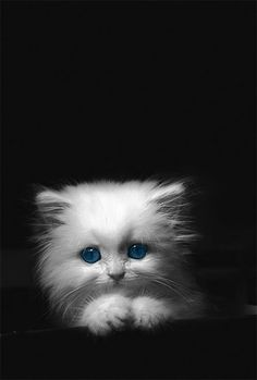 little furry white baby cat with blue eyes on a black background