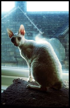 CORNISH REX | 'Teta' aka 'Fancy'     ✫ღ⊰n Cornish Rex Cat, Cat Breeds, Kangaroo, Fancy, Cats, Animals, Baby Bjorn, Cat, Gatos