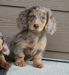 Phantom Blue Cream Dapple Long Haired Mini Dachshund Dapple