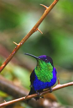 "Violet-crowned Woodnymph. The ""Chayodoce"" In Costa Rica. All text, photos & maps copyright Hilton Pond Center Pretty Birds, Love Birds, Beautiful Birds, Humming Bird Feeders, Humming Birds, Small Birds, Little Birds, Exotic Birds, Costa Rica"