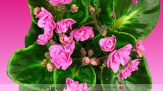 Timelapse of Growing and Opening Pink Saintpaulia Saintpaulia, Alpha Channel, African, Flowers, Plants, Pink, Florals, Planters, Flower