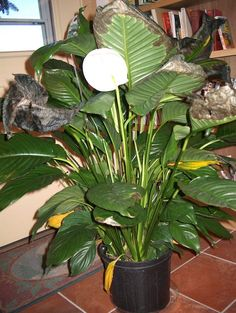 Landscaping With Rocks - How You Can Use Rocks Thoroughly Within Your Landscape Style What Causes Peace Lily Leaves To Turn Yellow Or Brown - Sometimes, Peace Lilies Suffer From Browning Or Yellowing Leaves. To Learn About What Causes Peace Lily Leaves To Peace Lily Indoor, Peace Lily Plant Care, Peace Lily Flower, Peace Plant, Peace Lillies, Lilly Plants, Yellow Plants, Inside Plants, Yellow Leaves