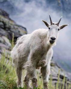 Mountain goat on Sperry Glacier, Glacier National Park, Montana