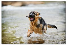 german shepherd Taz running in water with a stick