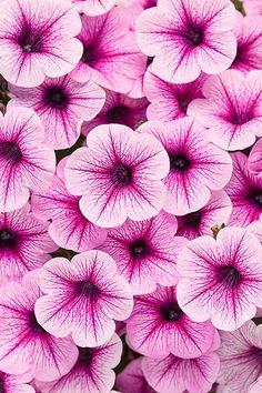 Supertunia® Mini Rose Veined - Petunia hybrid