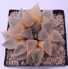 Haworthia comptoniana variegate transluscent