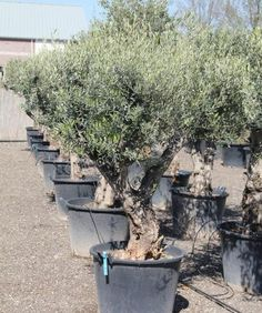 Olijfboom productinformatie | Winterharde olijfboom | Olijfboom Specialist Overloon