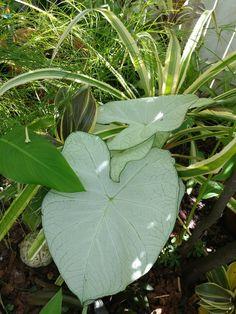 Caladium Moonlight, yellow Firecracker fern, ananas variegata